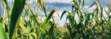 Pszenica, soja, kukurydza - raport USDA